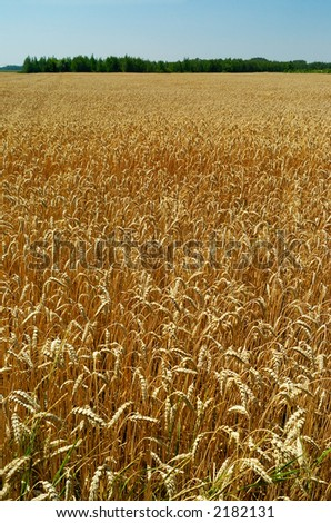Field of ripe wheat with green trees in background, great depth of field