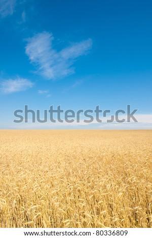 field of rye - stock photo