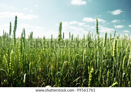 field of rye and sunny day - stock photo