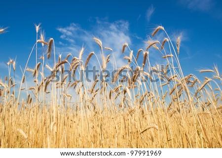 field of rye, blue sky - stock photo