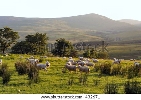 Field of sheep with hills beyond, on farm in the Scottish Borders, UK - stock photo