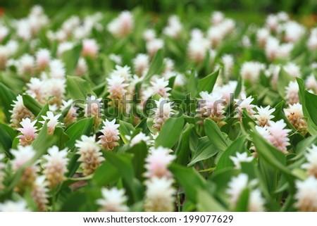 field of siam tulip flower or patumma blooming public garden - stock photo