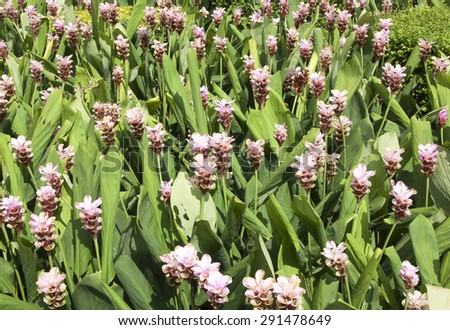 Field of siam tulip flowers, flowers begin to rot. - stock photo