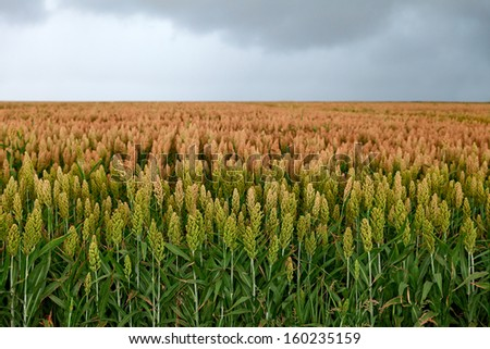 field of sorghum, named also durra, jowari, or milo. Is cultivated for its grain and used for food for animals and humans, and for ethanol production - stock photo
