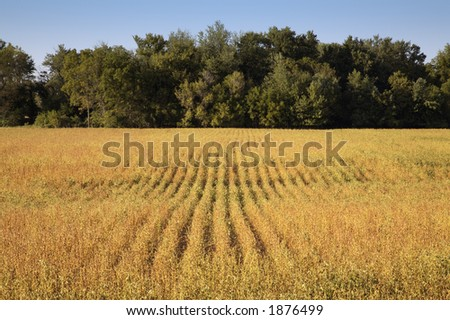Field of Soybeans close to Harvest - stock photo