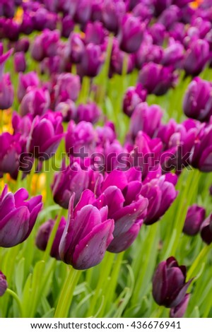 Field of spring tulips, flowers is a lot of bright