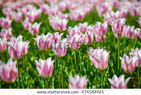 Field of spring tulips, flowers is a lot of bright, mature flowers, flower bed, buds of tulips, seasonal flowers