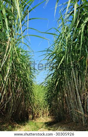 Field of sugar cane - stock photo