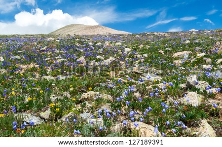 Field of summer wildflowers blooming in the Colorado Rocky Mountains - stock photo