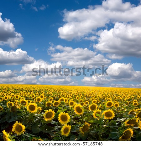Field of sunflower against the sky