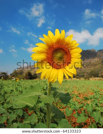 field of sunflower on clear sky - stock photo