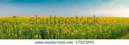 Field of sunflower, panorama - stock photo