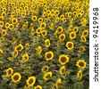 Field of sunflowers. - stock photo