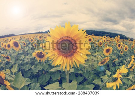 field of sunflowers - stock photo