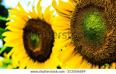 Field of sunflowers - stock photo