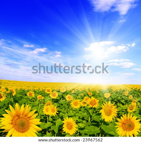 field of sunflowers and blue sun sky - stock photo