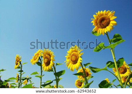 field of sunflowers and blue sun sky