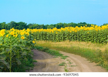 Field of sunflowers and gravel road in a summer afternoon. - stock photo