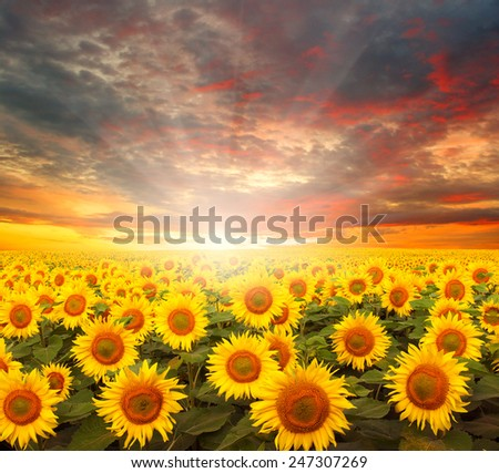 field of sunflowers and sun in the blue sky.  - stock photo