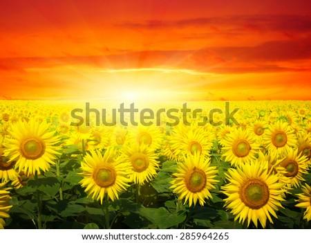 field of sunflowers and sun in the blue sky