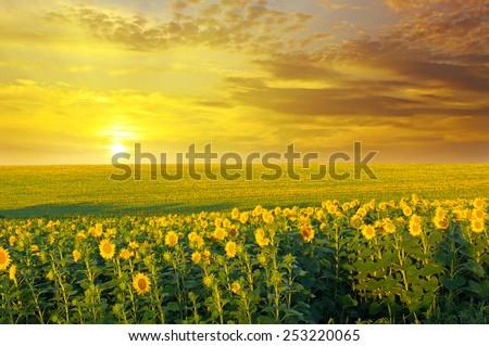 field of sunflowers and sunrise - stock photo