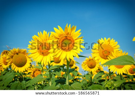 Field of sunflowers - bees collect nectar and pollen - stock photo