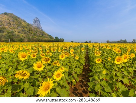 Field of sunflowers. Composition of nature. - stock photo