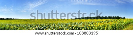 Field of sunflowers early morning by summer. - stock photo