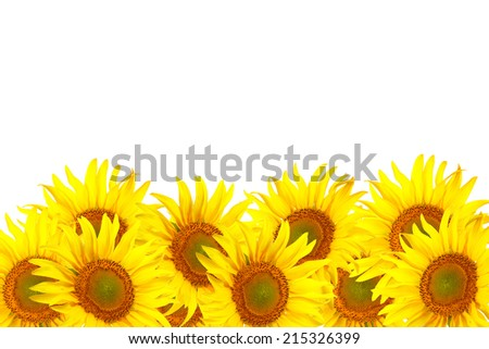 Field of sunflowers  isolated on white background - stock photo