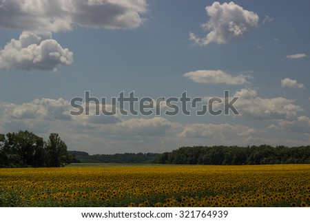 Field of sunflowers on a background of blue sky.  - stock photo