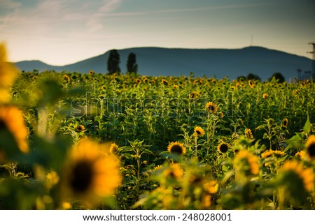 Field of Sunflowers on a sunny summer afternoon