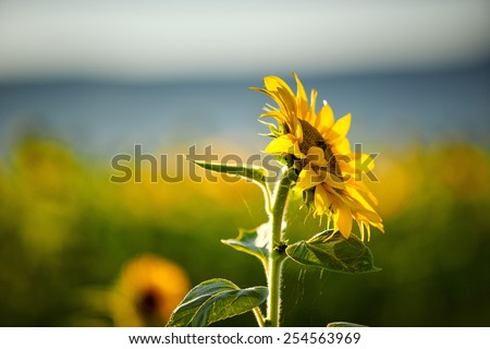Field of Sunflowers on a sunny summer afternoon - stock photo