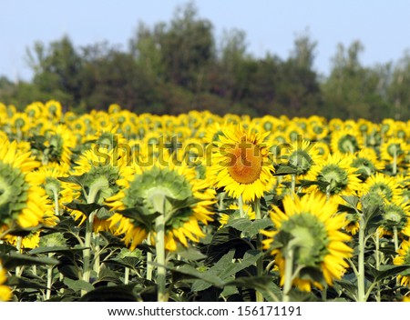 field of sunflowers, one flower is turned in the opposite direction, Russia - stock photo