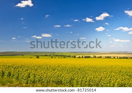 Field of sunflowers. Summer landscape against the blue clear sky. - stock photo
