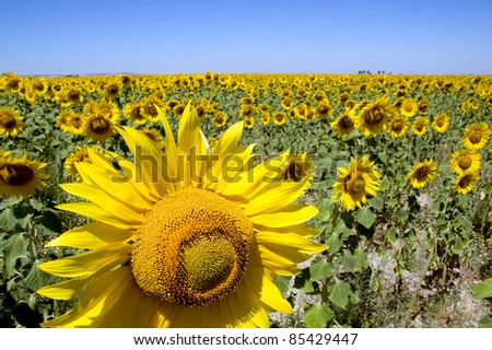 field of sunflowers under blue sky - stock photo