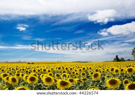 field of sunflowers under blue sky, south of France - stock photo