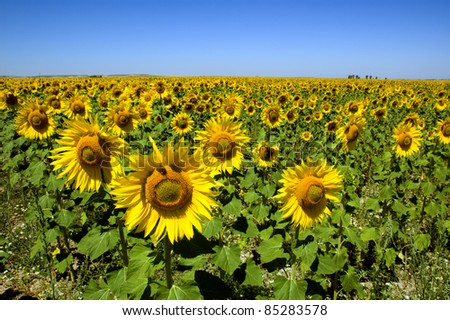 field of sunflowers under blue sky, Spain - stock photo