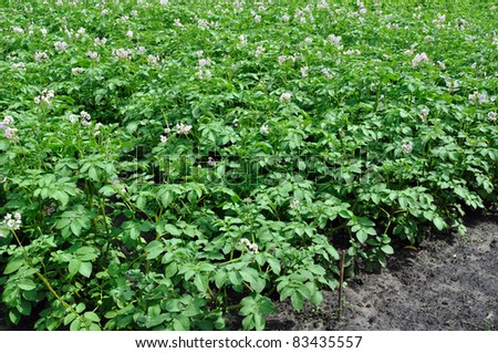 field of the blooming potato in the vegetable garden