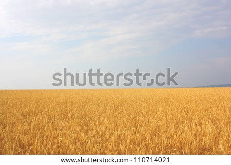 Field of the wheat - stock photo