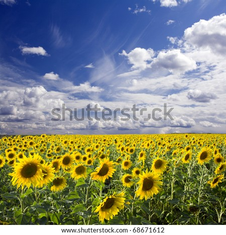 Field of the yellow sunflowers. Sky and clouds