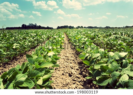 Field of the young soyabean from low angle - stock photo