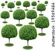 Field of trees - ficus benjamina. - stock photo