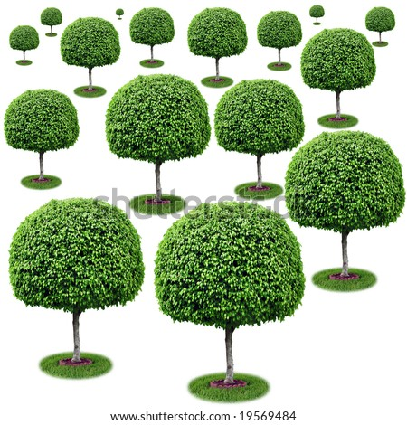 Field of trees - ficus benjamina. - stock photo