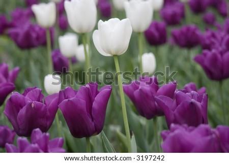 Field of tulips - stock photo