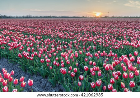 Field of tulips in a late sunset - stock photo