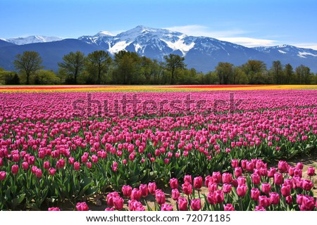 Field of tulips in British Columbia, Canada. - stock photo