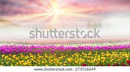 Field of tulips of different breeds on the backdrop of scenic wilderness after rain misty morning among bright spring greens in the mountains in the warm golden rays of sunrise  beauty of the Earth - stock photo