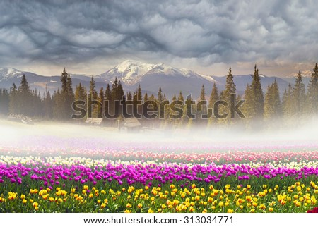 Field of tulips of different breeds on the backdrop of scenic wilderness after rain misty morning among bright spring greens in the mountains in the warm golden rays of sunrise sun-natural beauty  - stock photo