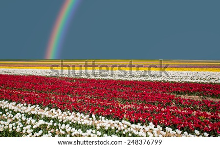 field of tulips with rainbow  - stock photo