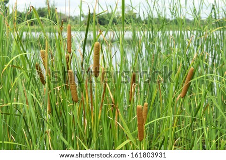 field of typha angustifolia papyrus dense in wetland - stock photo